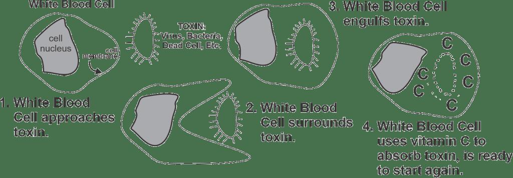 Sugar & Immune System-fig1
